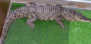 Крокодил - экзотическое животное