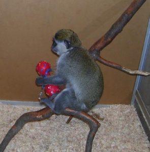 Мартышка - экзотические животные в Кременчуге