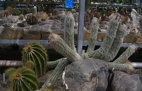 Огромные кактусы в Никитском ботаническом саду