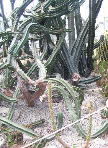 Кактусы в Никитском ботаническом саду