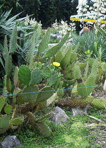 Кактусы в ботаническом саду в Крыму