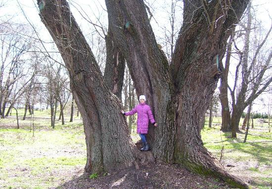 Старое дерево в Юбилейном парке