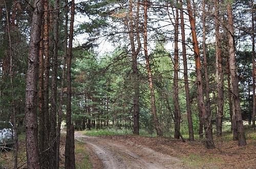 В сосновом лесу под Кременчугом