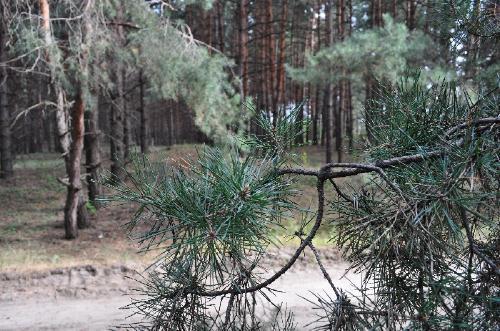 Пейзажи соснового леса
