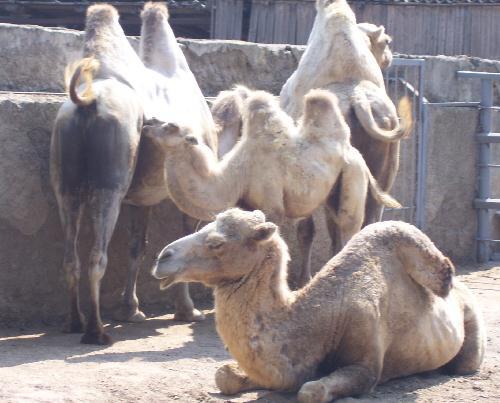 Верблюды с верблюжатами