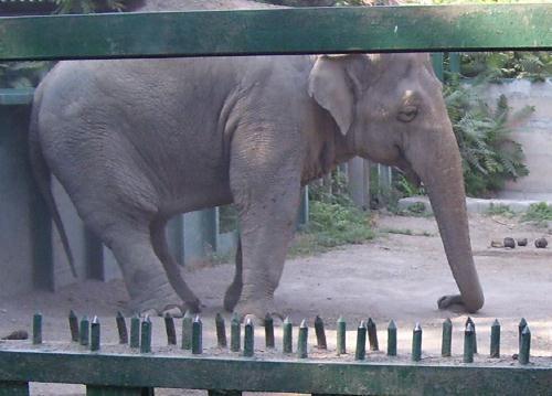 Слон в Одесском зоопарке