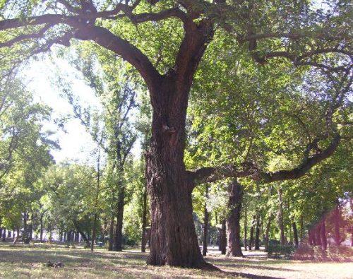 Шелковица в парке