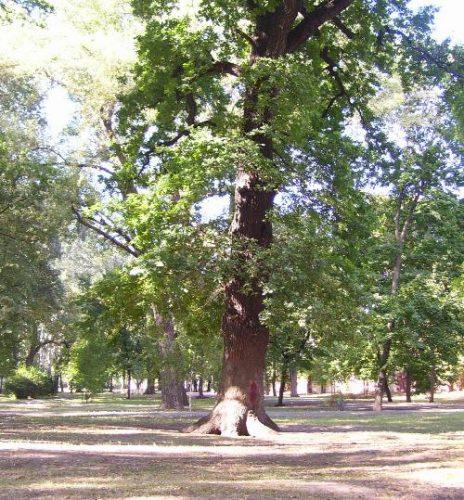 Двухсотлетний дуб