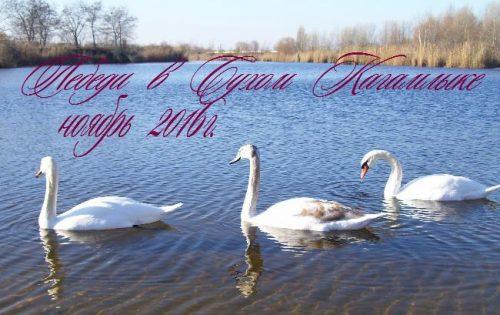 Лебеди на Молодежном