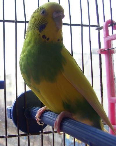 Содержание попугайчиков в домашних условиях