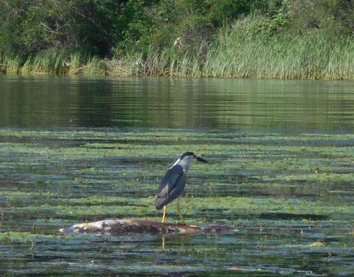 Птица села на тушу дохлой рыбы на Днепре
