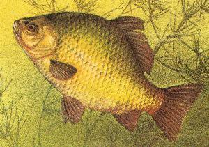 рыба Кременчуга