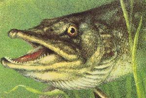 Какая рыба, обитает в Днепре около Кременчуга?