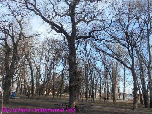 Старинный дуб