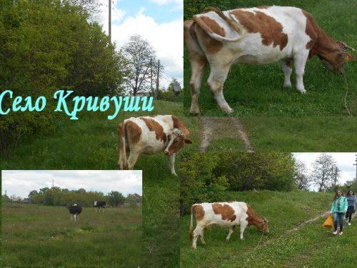 Село Кривуши