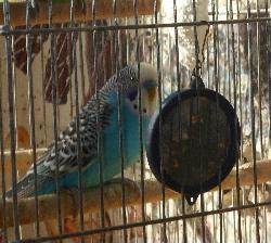 Волнистый попугайчик Маша. Интим с зеркальцем.