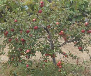 Яблоки и их целебные свойства